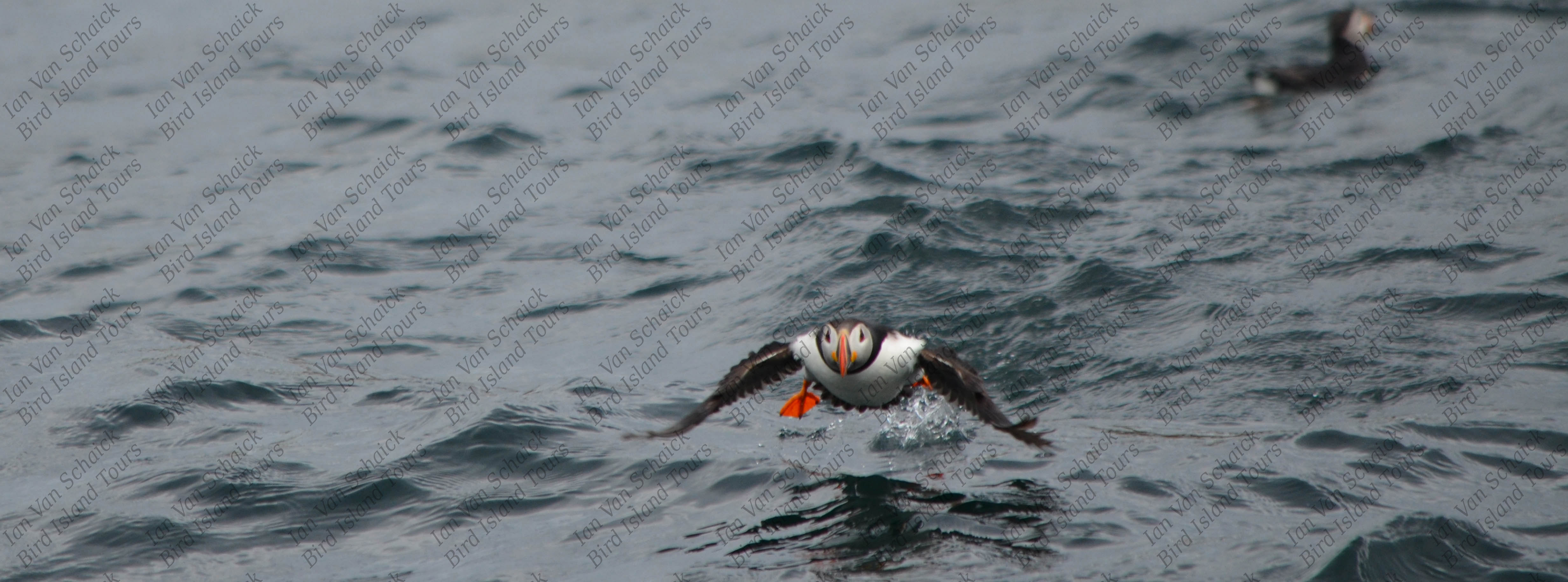 Puffin flying right at you